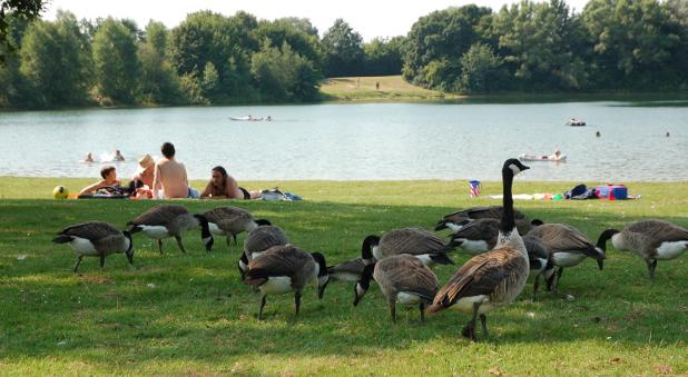 Am Elfrather See in Kreefeld verderben Gänse den Schwimmern die Laune.