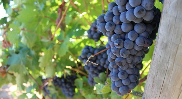 Trauben des Weinguts Real Sitio de Ventosilla.