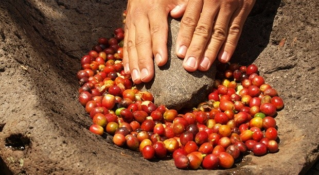 Rohe Kaffeebohnen: Weil die Preise im Keller sind, fürchten viele Kaffeebauern um ihre Existenz.