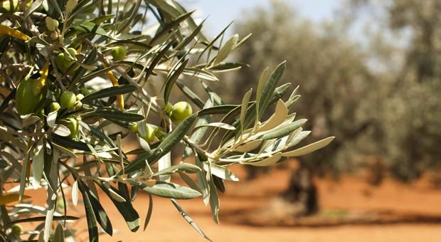 Der Verkauf zieht an: Olivenöl aus Griechenland wird immer beliebter.