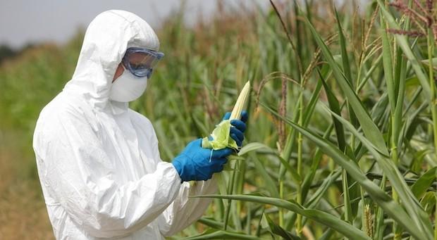 Wird auf Deutschlands Feldern bald Genmais angebaut?