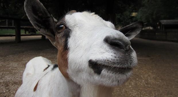 Ein amerikanischer Unternehmer will Ziegen als Landschaftsbauer einsetzen.