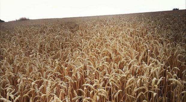2014 war für die Bauern eine gute Erntezeit - über die Preise können sie sich allerdings nicht freuen