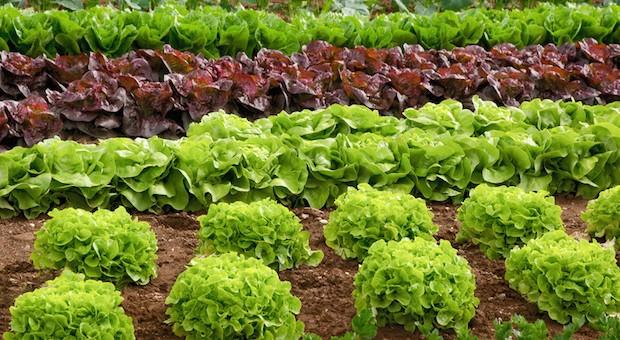 """Ein Salatfeld: Wieviel ist Konsumenten das """"Biosiegel"""" wert?"""