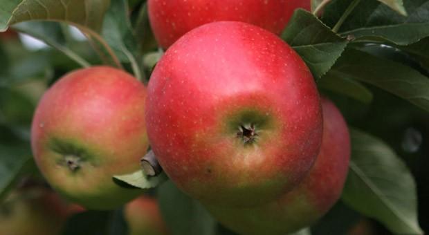 Äpfel aus dem Land: Obstbauern durch Importstopp und gute Ernte unter Preisdruck.