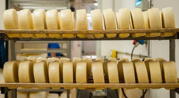 Käselaibe aus einer italienischen Käserei.