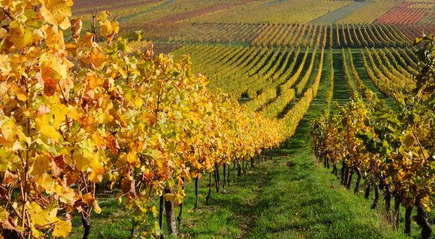 Die Weinanbaufläche könnte durch eine EU-Regelung 2016 vergrößert werden.