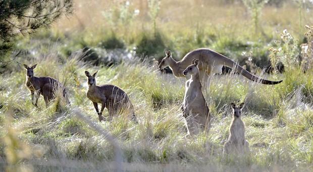 Wer an Australiens Tierwelt denkt, hat sofort Kängurus vor Augen. Doch das Land beheimatet auch ein paar der giftigsten Tierarten.