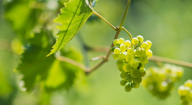 Jedes Jahr erzeugen die zwölf Winzer des Hildesheimer Weinkonvents knapp 300 Flaschen Müller Thurgau Weißwein.