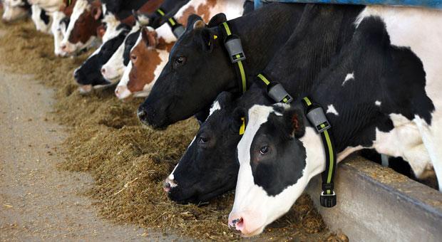 Kühe mit Sensor-Halsband: Jeder Schmatzer und jeder Rülpser wird registriert.