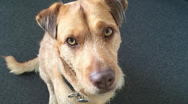 Auch in der impulse-Redaktion gibt es Bürohunde: Zum Beispiel ist Tschikko manchmal zu Gast im Grafik-Büro und hat seinen Platz am Schreibtisch bei Art Directorin Kathrin Sander.