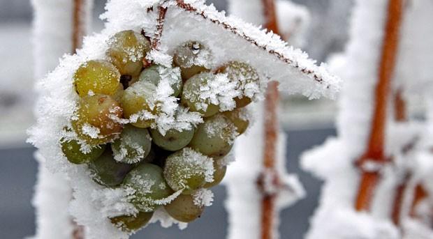 Ohne Schnee auf den Trauben sieht es schlecht aus für Eiswein: Er braucht über einen längeren Zeitraum Temperaturen von minus acht bis minus zehn Grad.