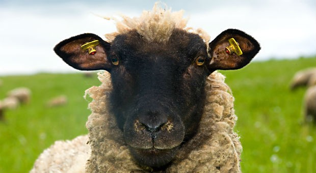 """Was dieses Schaf mit Grüßen in E-Mails zu tun hat? Sehr viel, wenn es nach Jürgen Krenzer geht - der Hotelier ist Inhaber des Rhönschaf-Hotels und unterschreibt gern """"Mit herzlich-schafen Grüßen""""."""