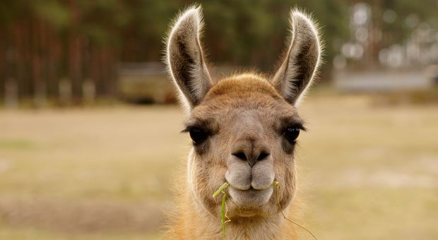 Dass man nicht in die Arbeit kommen kann, wenn die Kinder krank sind, ist verständlich. Aber ob der Chef ein krankes Lama als Krankheitsgrund akzeptiert?