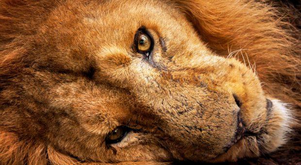Alles Wichtige in vier Stunden erledigen und den Rest des Tages schlafen oder dösen - das ist die Löwen-Strategie.